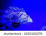 pterois zebrafish  firefish ... | Shutterstock . vector #1032102370