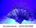pterois zebrafish  firefish ... | Shutterstock . vector #1032102388