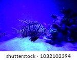 pterois zebrafish  firefish ... | Shutterstock . vector #1032102394