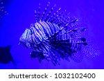 pterois zebrafish  firefish ... | Shutterstock . vector #1032102400