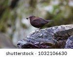 brown dipper  cinclus pallasii  ... | Shutterstock . vector #1032106630
