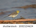 a female citrine wagtail ... | Shutterstock . vector #1032124624