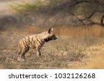 a wild adult striped hyena ... | Shutterstock . vector #1032126268