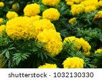 nature view of yellow african... | Shutterstock . vector #1032130330