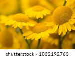 Stock photo yellow flowers of dyer s camomile anthemis tinctoria 1032192763