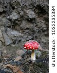 Small photo of Amanita muscaria, fly agaric