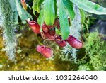 nepenthes. little predatory... | Shutterstock . vector #1032264040