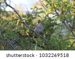 common nightingale or simply... | Shutterstock . vector #1032269518