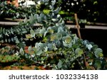 shrub of the eucalyptus cinerea ... | Shutterstock . vector #1032334138