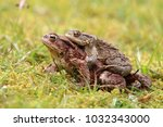 The Common Toad  European Toad