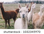 Colorful Group   Pack Of Alpacas