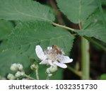 bee gathering nectar pollen... | Shutterstock . vector #1032351730