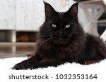 maine coon cat. live nature. | Shutterstock . vector #1032353164
