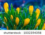 crocus  plural crocuses or... | Shutterstock . vector #1032354358