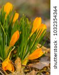 crocus  plural crocuses or... | Shutterstock . vector #1032354364