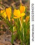 crocus  plural crocuses or...   Shutterstock . vector #1032354370