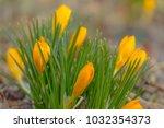 crocus  plural crocuses or...   Shutterstock . vector #1032354373