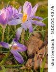 crocus  plural crocuses or...   Shutterstock . vector #1032354376