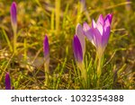 crocus  plural crocuses or... | Shutterstock . vector #1032354388