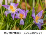 crocus  plural crocuses or... | Shutterstock . vector #1032354394