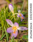 crocus  plural crocuses or... | Shutterstock . vector #1032354400