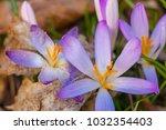crocus  plural crocuses or...   Shutterstock . vector #1032354403