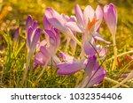 crocus  plural crocuses or...   Shutterstock . vector #1032354406