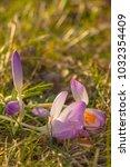 crocus  plural crocuses or...   Shutterstock . vector #1032354409