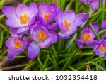 crocus  plural crocuses or... | Shutterstock . vector #1032354418
