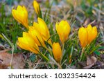 crocus  plural crocuses or... | Shutterstock . vector #1032354424
