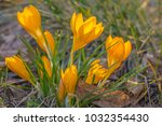 crocus  plural crocuses or... | Shutterstock . vector #1032354430