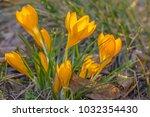 crocus  plural crocuses or...   Shutterstock . vector #1032354430