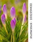 crocus  plural crocuses or...   Shutterstock . vector #1032354433
