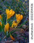 crocus  plural crocuses or...   Shutterstock . vector #1032354436