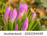crocus  plural crocuses or...   Shutterstock . vector #1032354439