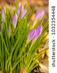 crocus  plural crocuses or... | Shutterstock . vector #1032354448