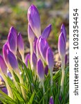 crocus  plural crocuses or... | Shutterstock . vector #1032354454
