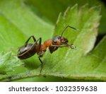red ant rufa | Shutterstock . vector #1032359638