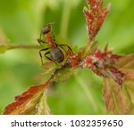 red ant rufa | Shutterstock . vector #1032359650