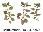 red basil branch isolated on... | Shutterstock . vector #1032374560