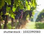 grape harvest italy | Shutterstock . vector #1032390583