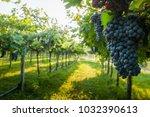 grape harvest italy | Shutterstock . vector #1032390613
