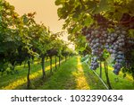 grape harvest italy | Shutterstock . vector #1032390634