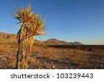 Mature Spanish Dagger Yucca In...