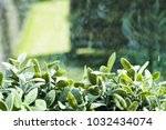 border hedge of small leaves ... | Shutterstock . vector #1032434074