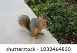 close up of texas brown... | Shutterstock . vector #1032464830