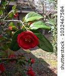 Red Camellia Flower Close Up...