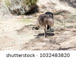 the young emus are drinking... | Shutterstock . vector #1032483820