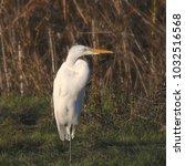great egret  ardea alba    Shutterstock . vector #1032516568