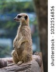 meerkat at the park | Shutterstock . vector #1032516856